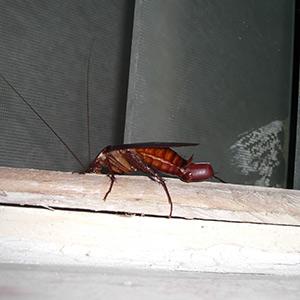 cockroach control in Alexandria