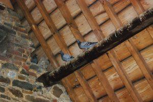pigeons in attic