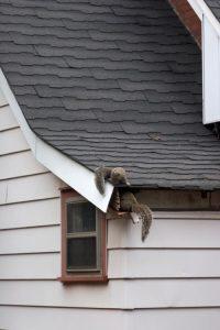 squirrel intrusion