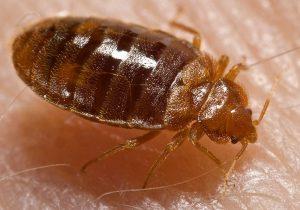 bed bugs Fairfax
